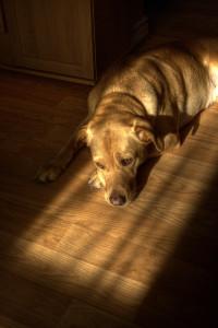 laminatova podlaha pes
